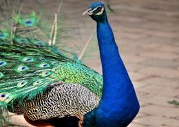 一只色彩艷麗的孔雀圖片_13張