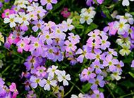 淡紫色唯美浪漫花海圖片