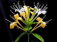 金银花细长小枝精美写真图片