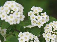 花團錦簇的繡球花圖片