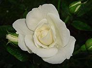纯真唯美的白玫瑰高清图片