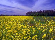 春天的油菜花超清摄影图片