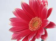 一朵俏麗的粉色非洲菊圖片