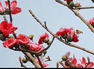 温暖春日的木棉花摄影图片