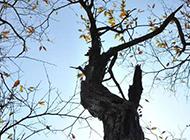 仰拍高大树木图片