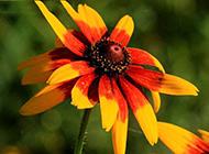 陽光下綻放的紅色野菊花圖片