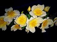 錦團花簇的梔子花圖片