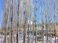 秋天的白杨树林精美图片