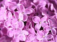 淡紫色的5瓣丁香花圖片