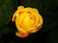 一枝黃玫瑰圖片素材明艷誘人