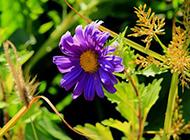 一朵紫色的野菊花圖片