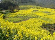 黄色耀眼的油菜花图片