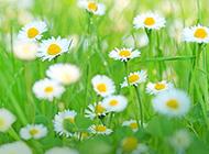 頑強樸實的野菊花圖片