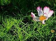 草叢中的盛開的野菊花圖片