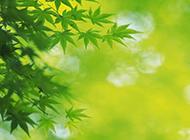 綠色楓葉植物圖片精選壁紙