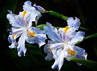 漂亮的法國國花鳶尾花圖片欣賞