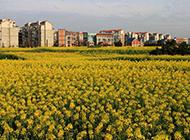郊外的油菜花美景图片