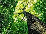 高大挺拔的参天大树图片