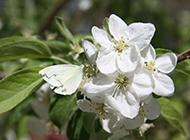 梔子花圖片植物花卉素材