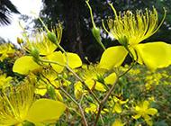 黄灿灿的金银花图片