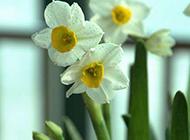 亭亭玉立的水仙花图片