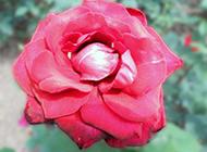 含苞待放的红色牡丹花图片