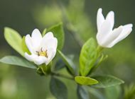 盆栽小葉梔子花圖片潔白無瑕
