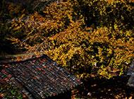 银杏树叶唯美风景图片大全
