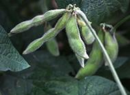 绿色的植物毛豆特写图片