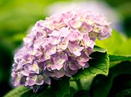 紫色繡球花圖片美麗迷人
