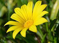 鄉間的黃色野菊花圖片