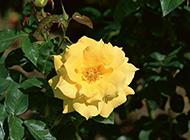 嬌美的野生黃玫瑰圖片賞析