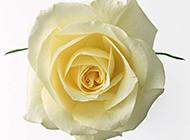 純潔的黃玫瑰花高清特寫圖片