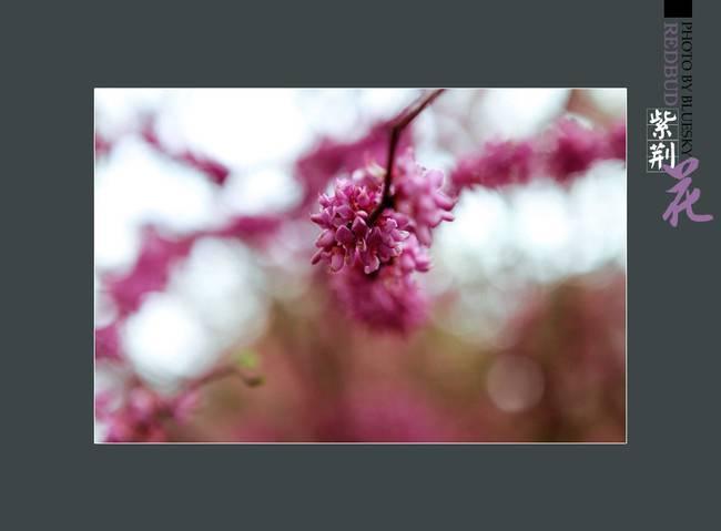 典雅大方的紫荊花圖片