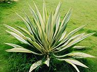 绿草本植物龙舌兰图片欣赏