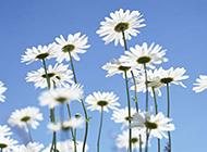 藍天下白色野菊花圖片攝影