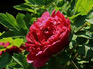 漂亮的大红色牡丹花图片