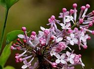 花色淡雅而清香的丁香花圖片