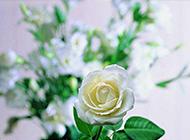 純潔高貴的白玫瑰攝影圖片