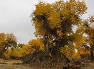 秋天的戈壁滩白杨树图片