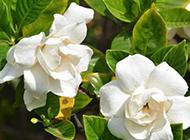 白色梔子花攝影圖片