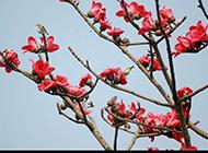 红艳却不媚俗的木棉花图片