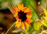 黃色野菊花圖片素材分享