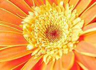 花大色美的非洲菊圖片