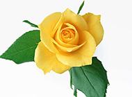 漂亮的黃玫瑰圖片素材