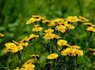 怒放的黃色野菊花圖片