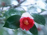 冬日勃勃生機的山茶花圖片