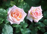 粉红玫瑰花开图片
