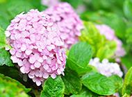 繡球花圖片素材高清精選