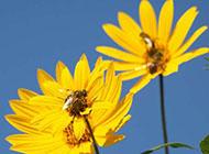 藍天下的野菊花圖片